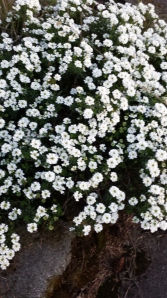 """Spring in my neighborhood. I call these """"halogen flowers,"""" but I think they might be some sort of baby's breath. Anyone?"""