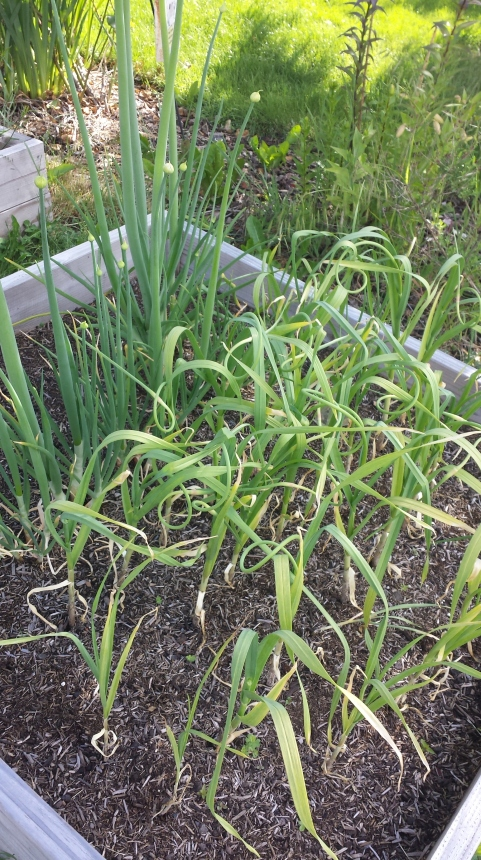 See those little curlicues? Those are garlic scapes.