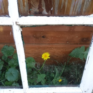 This dandelion and old window.