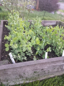 Peas of all sorts. I will trellis them this weekend.