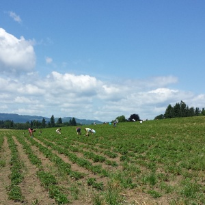 Sauvie Island strawberry fields.