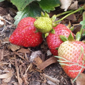 The strawberry patch we started last year is taking off, slowly but surely.