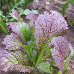 Red giant mustard greens, my favorite variety to grow and braise with French lentils and sausage from the Russian sausage...smith... down the street.
