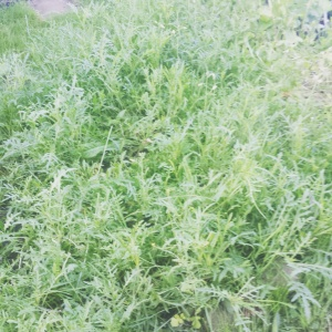 The arugula sea, taking over its bed.